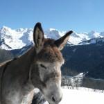 Lâne un animal utile dans nos montagnes.