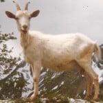 une chevrette sortie de la chèvrerie